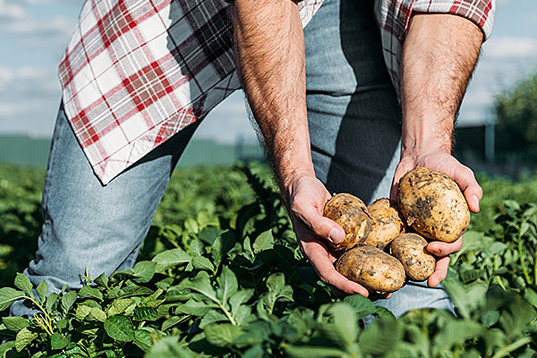 BIG POM - Kartoffelfeld